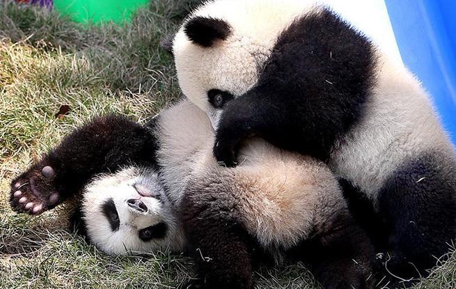 大熊猫龙凤胎宝宝有了新名字