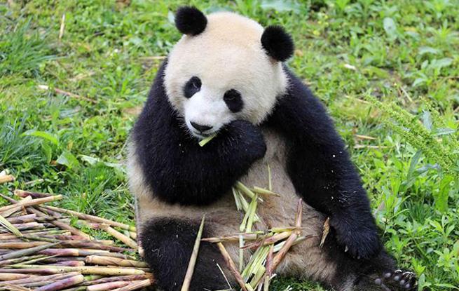 """大熊猫""""梦梦""""""""娇庆""""将赴德开展国际合作研究"""