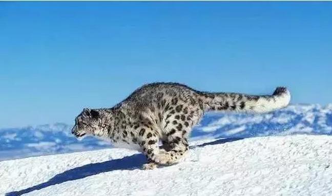 三江源地区雪豹或已超千只