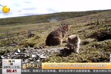 三江源首次记录到荒漠猫抚育幼崽影像