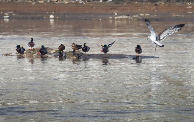 西宁湟水湿地发现上百种鸟类
