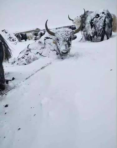 青海玉树发生雪灾 多方驰援抗灾保畜