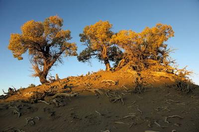 格尔木胡杨林是世界上海拔最高的胡杨林,背靠巍巍昆仑,面朝茫茫